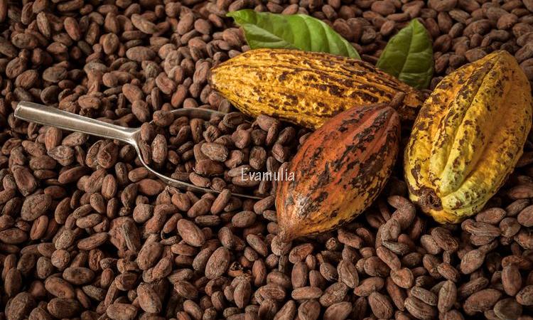 Eva Mulia - Klinik Evamulia - Perawatan Wajah - Manfaat Kakao Untuk Kesehatan - Kakao adalah buah yang dimana bahan dasar coklat. Kakao murni atau yang sudah diolah menjadi coklat hitam memiliki banyak manfaat bagi kesehatan, mulai dari memperbaiki mood, menurunkan tekanan darah tinggi hingga mengurangi resiko penyakit jantung.